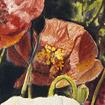 Abundant Poppy